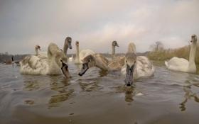 Обои птицы, озеро, лебеди