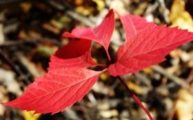 Обои макро, красный, листок, Осень