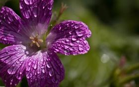 Обои фиолетовый, цветок, макро