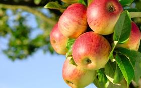 Обои ветка, яблоки, небо