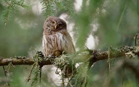 Обои сова, птица, ветка, Pygmy Owl