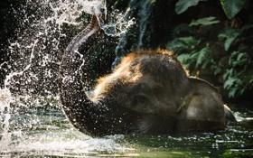 Обои природа, слон, вода