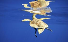 Обои море, вода, поверхность, отражение, черепаха, под водой, желтая
