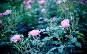Картинка цветок, цветы, куст, розы, лепестки, розовые, rose