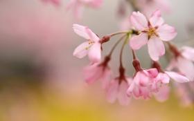 Картинка макро, цветы, природа, вишня, веточка, нежность, весна