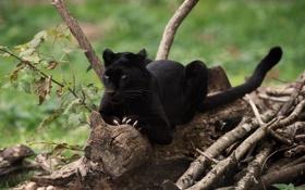 Обои хищник, пантера, когти, дикая кошка, чёрный леопард