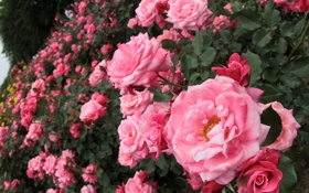 Обои розы, розовые, кусты