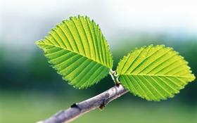 Обои зелень, листья, макро, веточка, листок, зеленые