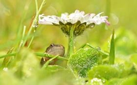 Обои капли, цветок, макро, лягушка, роса