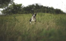 Картинка язык, лето, трава, собака, бежит, пёс