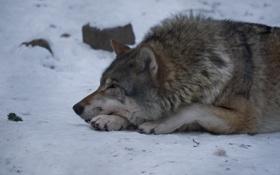 Картинка снег, отдых, волк, хищник, профиль