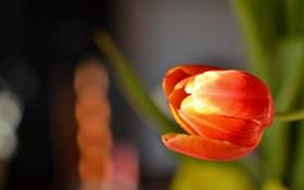 Обои цветок, красный, фон, тюльпан
