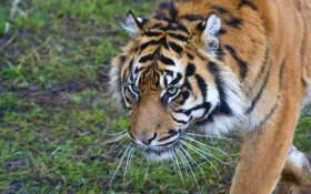 Обои кошка, тигр, суматранский