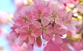 Обои цветы, вишня, веточка