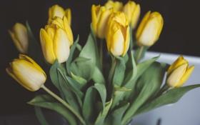 Картинка цветы, желтые, тюльпаны