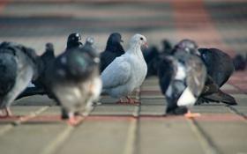 Обои голуби, плитка, боке