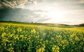 Картинка поле, небо, облака, деревья, цветы, холмы, рапс