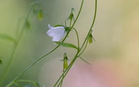 Картинка цветок, колокольчик, полевой