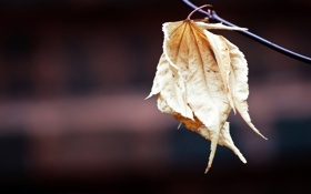 Картинка фон, ветка, листики, последние, макро., блёклые, увядающие