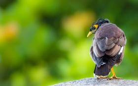 Обои природа, Common Myna, птица