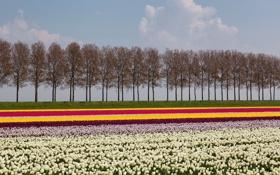 Картинка деревья, пейзаж, цветы, тюльпаны