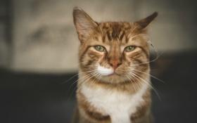 Картинка кот, взгляд, портрет, бело-рыжий
