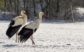 Картинка зима, птицы, аисты