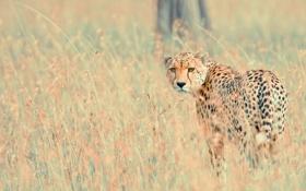 Обои природа, фон, леопард