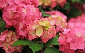 Картинка цветок, листья, розовый, куст, гортензия