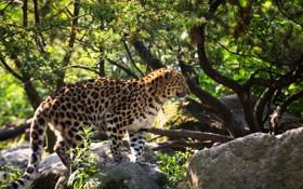 Обои пятна, дикая кошка, профиль, хищник, мех, амурский леопард, поза