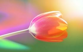 Обои сияние, нежный, цвет, тюльпан, радужный