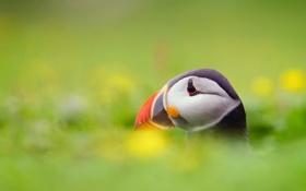 Картинка птица, Атлантический тупик, Fratercula arctica, Puffin