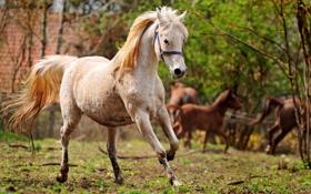 Обои бег, белая, лошадь, конь