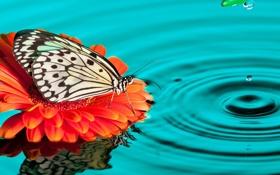 Обои капли, бабочка, вода, гербера