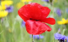 Картинка поле, цветок, природа, растение, мак, лепестки, луг
