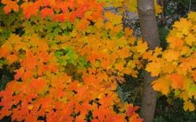 Обои осень, листья, дерево, ствол, клен