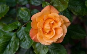 Обои оранжевый, роза, лепестки