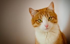 Обои кошка, взгляд, портрет