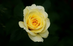 Обои зелень, цветок, роза, желтая
