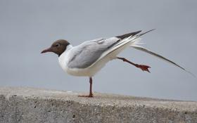 Картинка потягивание, разминка, или обыкновенная (речная) чайка (Larus ridibundus), Озёрная чайка
