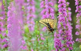 Обои бабочка, Махаон, макро, цветы