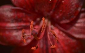 Обои макро, цветы, роса, пыльца, пестик, тычинка, красный цветок