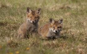 Обои детёныши, лисы, лисята