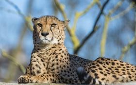 Обои кошка, отдых, гепард, ©Tambako The Jaguar