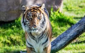 Обои тигр, хищник, суматранский