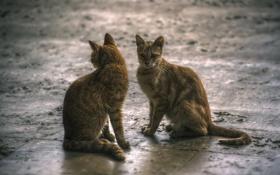 Обои кошки, две, серые, симметрия