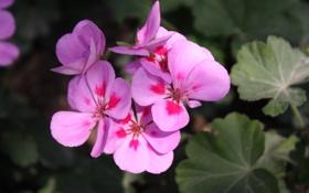 Обои макро, цветы, природа, обои, весна, фиалки