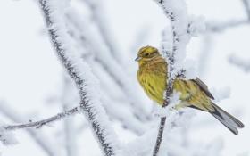 Картинка зима, снег, птица, Обыкновенная овсянка