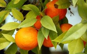 Картинка апельсины, oranges, leaves, fruits