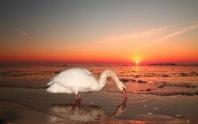 Картинка море, небо, пейзаж, закат, природа, лебедь, обои для рабочего стола